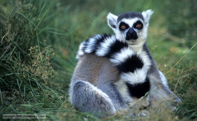ring-tailed_lemur_1.jpg