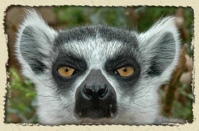 ringtail-lemur-face-bg.jpg