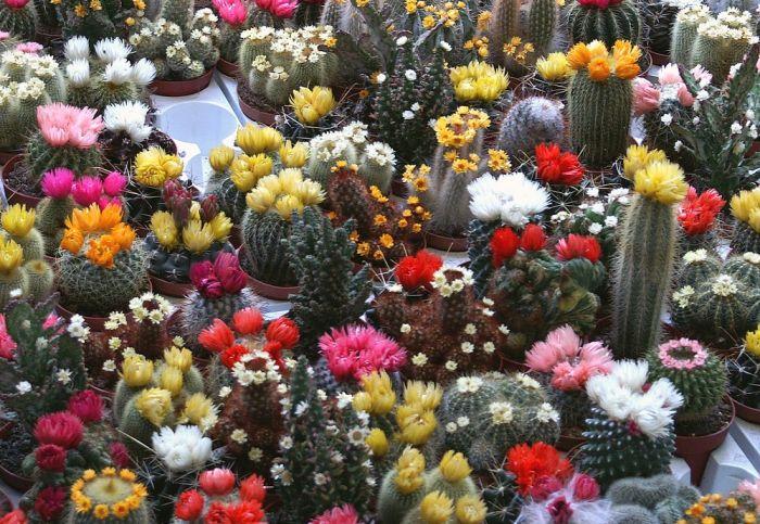 kaktusz92_1394266619.jpg_700x483