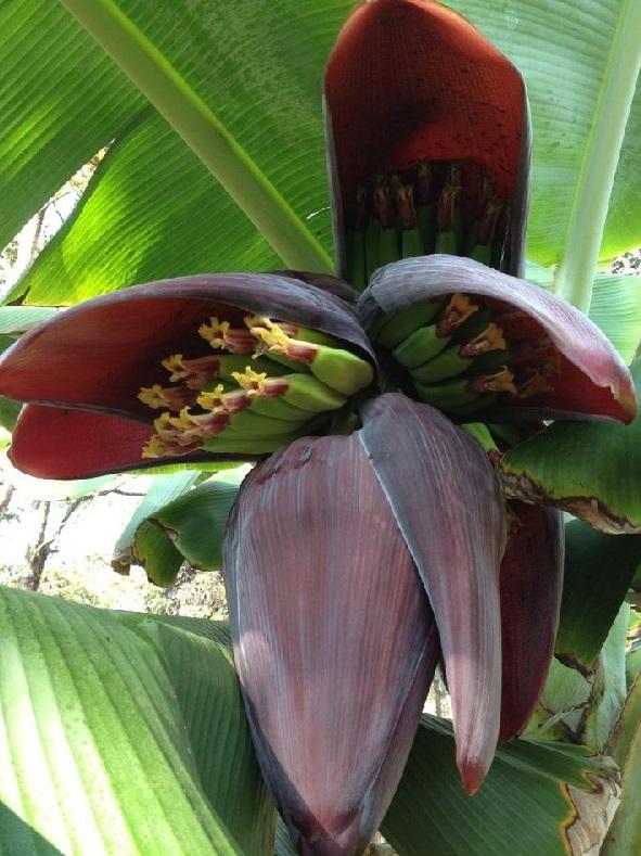 Banán1_1.jpg