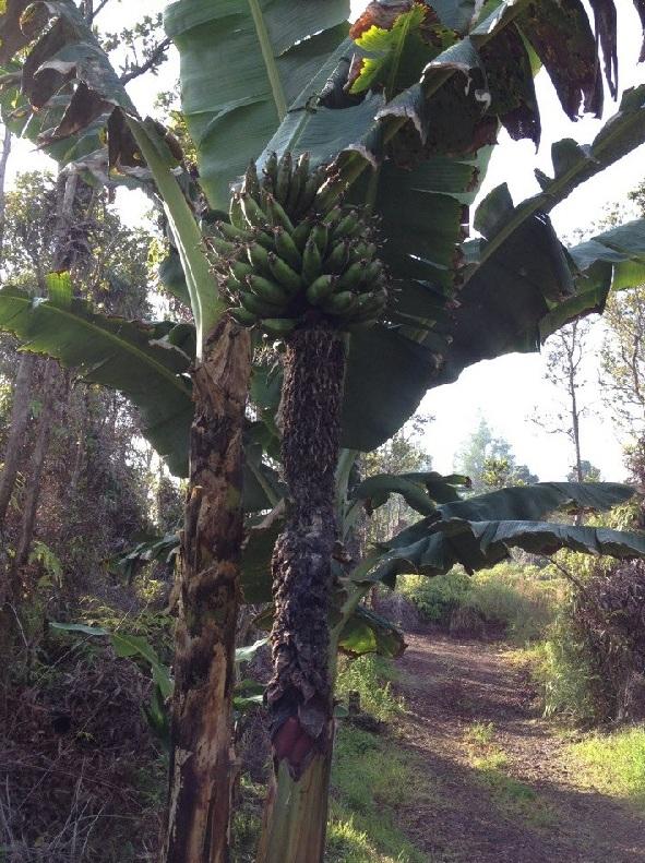 Banán2.jpg