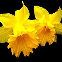 Mérgező tavaszi virágok