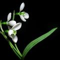 Hóvirág minták üvegre, hóvirág sablonok kreatív alkotásokhoz