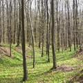 Tripammer fa - Melegmányi völgy
