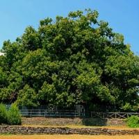 Olaszország legvénebb fája (fák 2.)