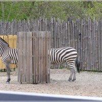 Zebra illúzió