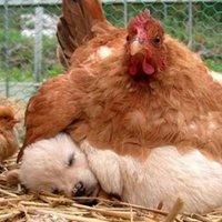 A tyúk vagy a tojás volt előbb?