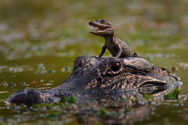 Baby+Alligator+gets+a+ride+on+his+mums+head.jpg