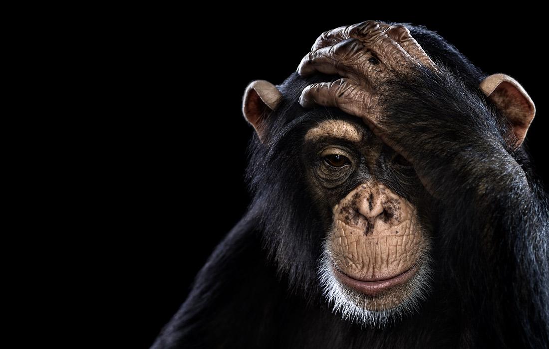 Chimpanzee2.jpg