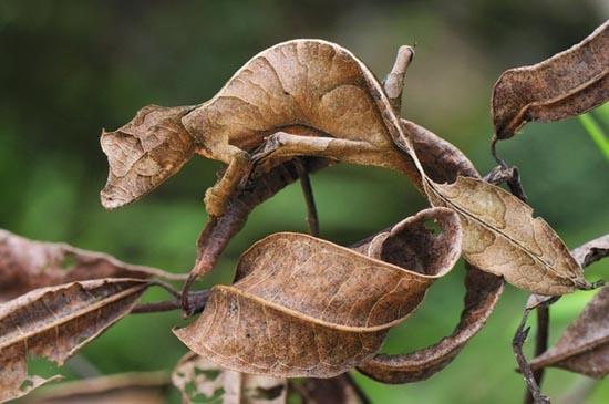 leaftailedgecco2.jpg