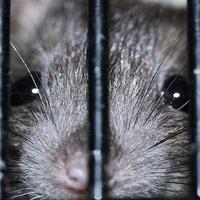 Patkányok ellen nem használ az altatódal