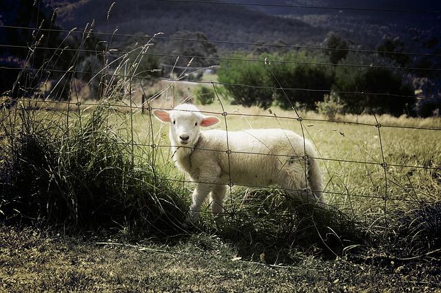 lamb-451982_640.jpg