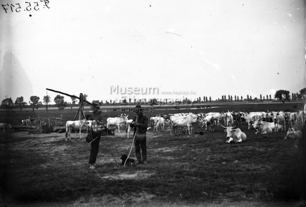 Gulya<br />Vajszló, 1910-es évek <br />A helységnév bizonytalan, lehetséges, hogy a fotó Páprádon készült<br />ff., üvegnegatív, 13x18 cm