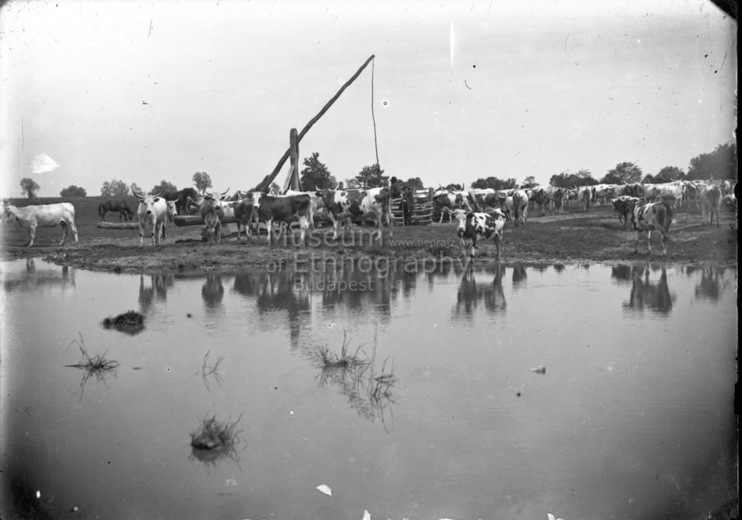 Gémeskút, tehéncsorda a kút mellett - Vajszló, 1910-es évek.<br />A helységnév bizonytalan, lehetséges, hogy a fotó Páprádon készült.<br />ff., üvegnegatív, 13x18 cm<br /><br />