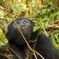 Gorilla trekking Ugandában (Kelet-Afrika II.)
