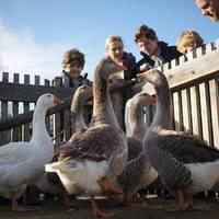Márton-nap: a libaevés ünnepe