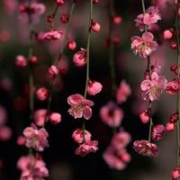 A cseresznyevirágzás nyomában