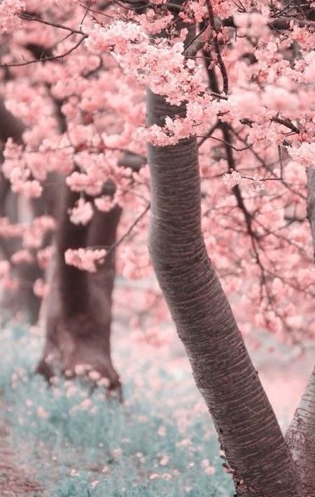 Sakura4.jpg