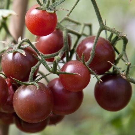 black cherry tomato.jpg