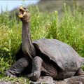 Hogyan nőttek óriásira a szárazföldi teknősök?