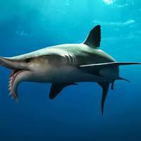 Megfejthették, hogyan vadászott a cápák egyik különös rokona