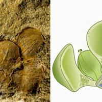 Új kövületek teszik több tízmillió évvel korábbra a zárvatermők megjelenését