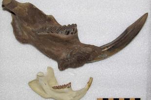 Az óriáshód újabb maradványát találták meg Kanadában