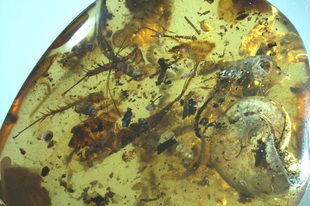 Tengeri lények a százmillió éves fenyőgyanta csapdájában