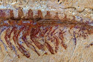 Kínában előkerült a legkorábbi ismert komplett idegrendszer