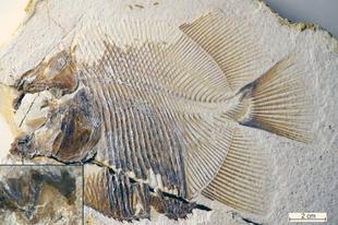 Pirájaszerű halak vadásztak a jura tengereiben
