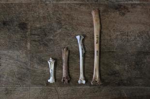 Az őslakók okozhatták a tonga-szigeteki óriásgalamb vesztét