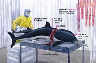 Az ichthyoszauruszok delfinszerűbbek voltak, mint eddig gondoltuk