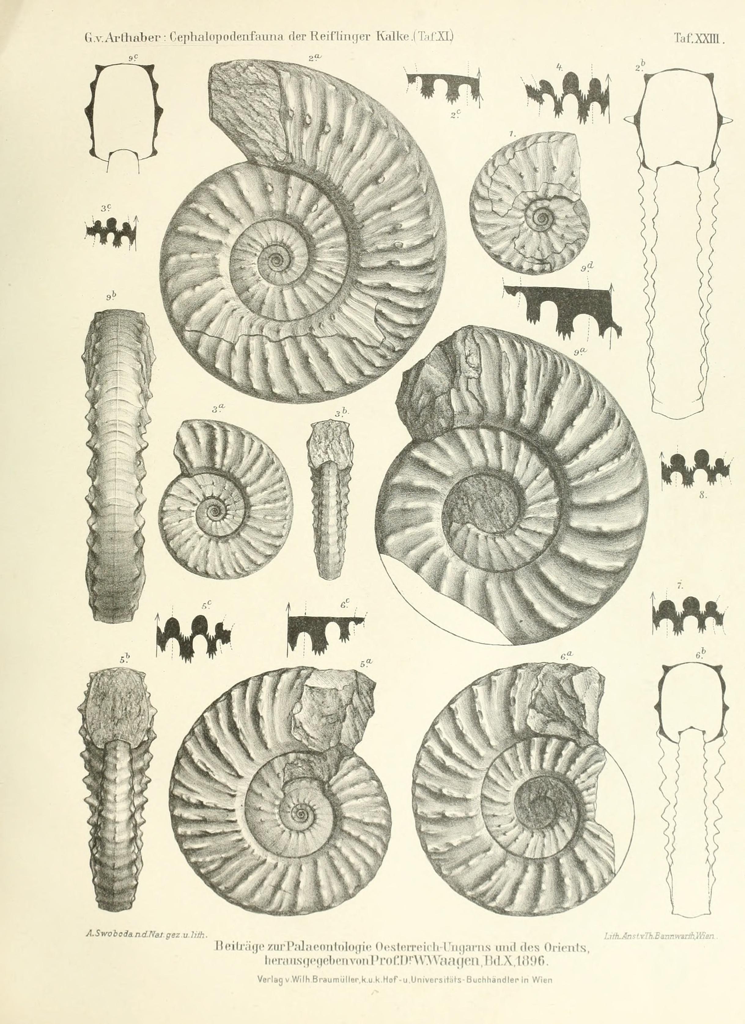 arthaber-cephalopodenfauna_1896_table_23_ceratites-balatonites.jpg