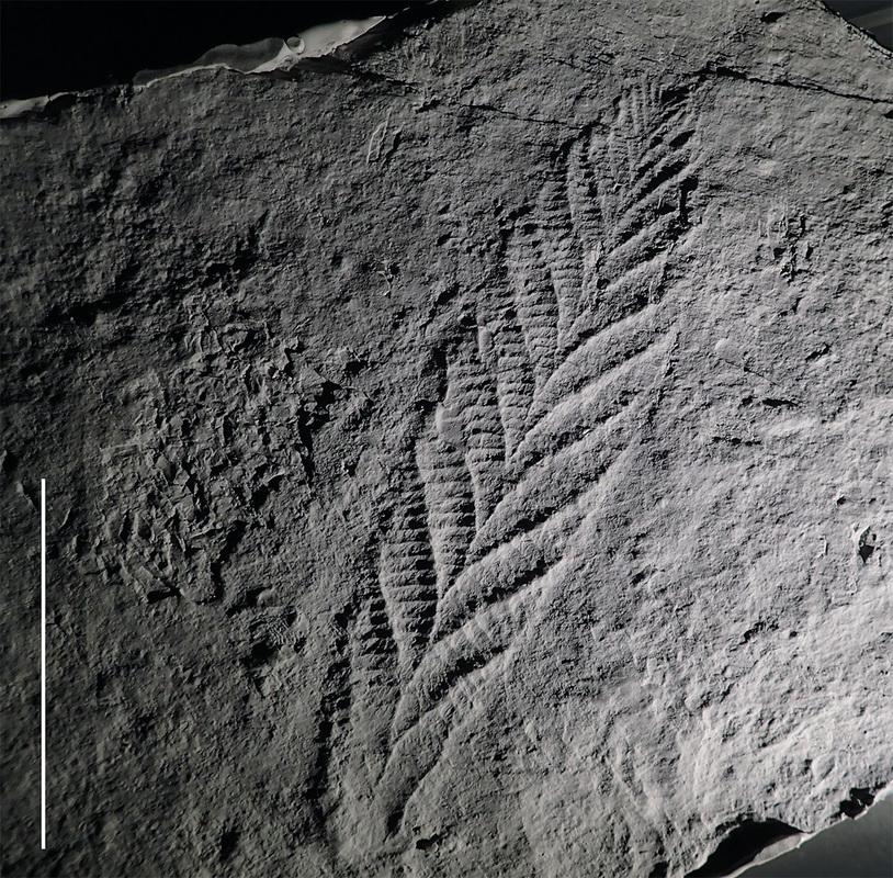 charnia-holotype-10cm-scale-bar-website_1_orig.jpg