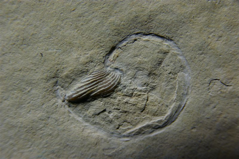 specimen_of_neochetoceras_with_aptychus_in_place_solnhofen.jpg