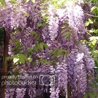 Lila akác: Pitralon, botanika és Pokorny Lia