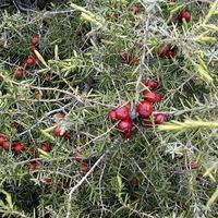 Cade, avagy a világ legritkább növénye