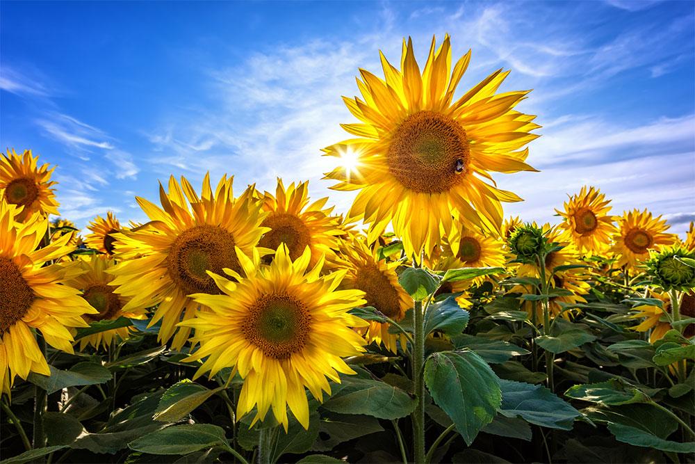 sunflowers_full.jpg