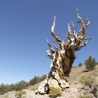 A Föld legvénebb fái