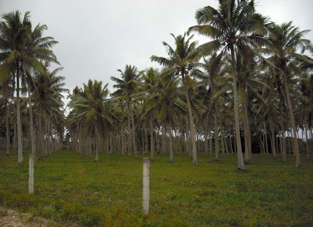 coconut-plantation-port-vila-vanuatu_1152_12881737512-tpfil02aw-25783.jpg