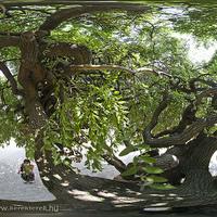 Takacsi - Gordiuszi fa