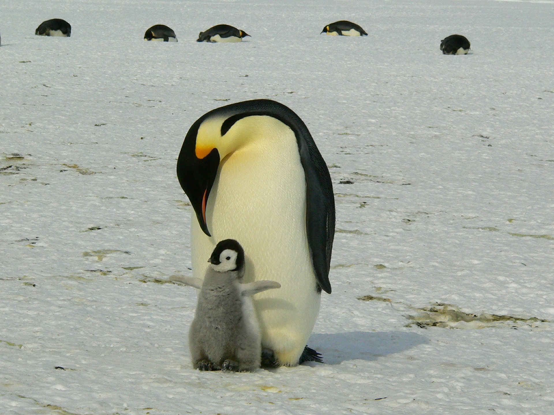 penguins-429134_1920.jpg