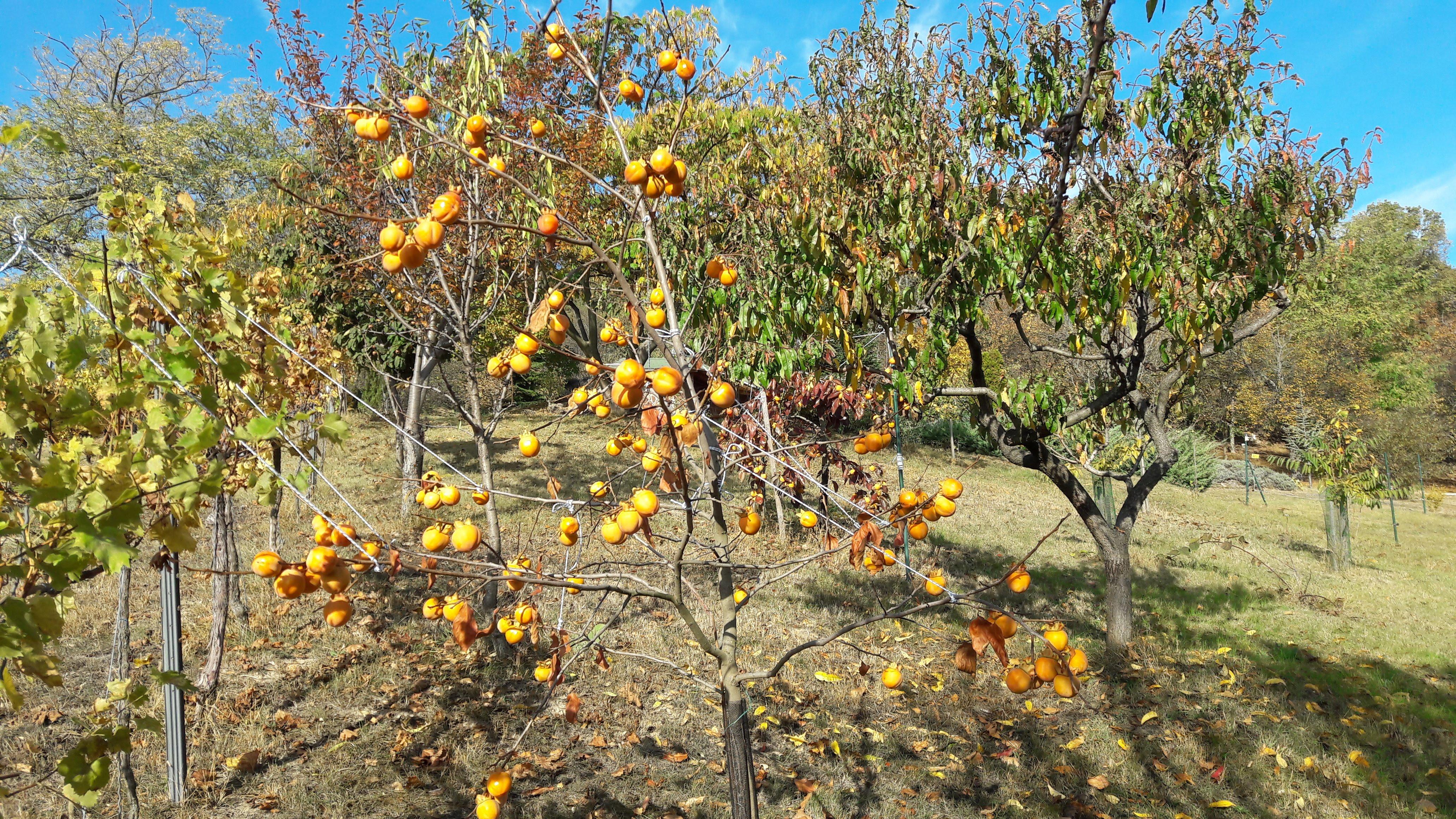 2019.10.22. 'Diospyros kaki Costata' érésben, levelét már eldobta, gyümölcsök száma kicsivel 100 felett. Átmérő 5-7 cm. Szüret 1 hónap múlva. A fa a felvétel idején 6,5 éves, telepítve 2013 tavaszán, konténeres oltványként.