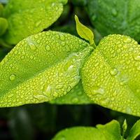 Vastagabb levelet növesztenek a növények a légkör növekvő szén-dioxid-szintje miatt
