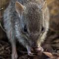Kihalás fenyegeti Ausztrália egyik apró erszényesét