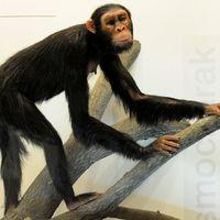 A Rudapithecus képes lehetett az emberhez hasonlóan felegyenesedve állni