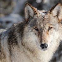 Meglepte a kutatókat, hogy farkaskölykökkel is lehet labdázni
