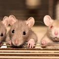 A patkányok csoportosan sikeresebben teljesítik a keresési feladatokat