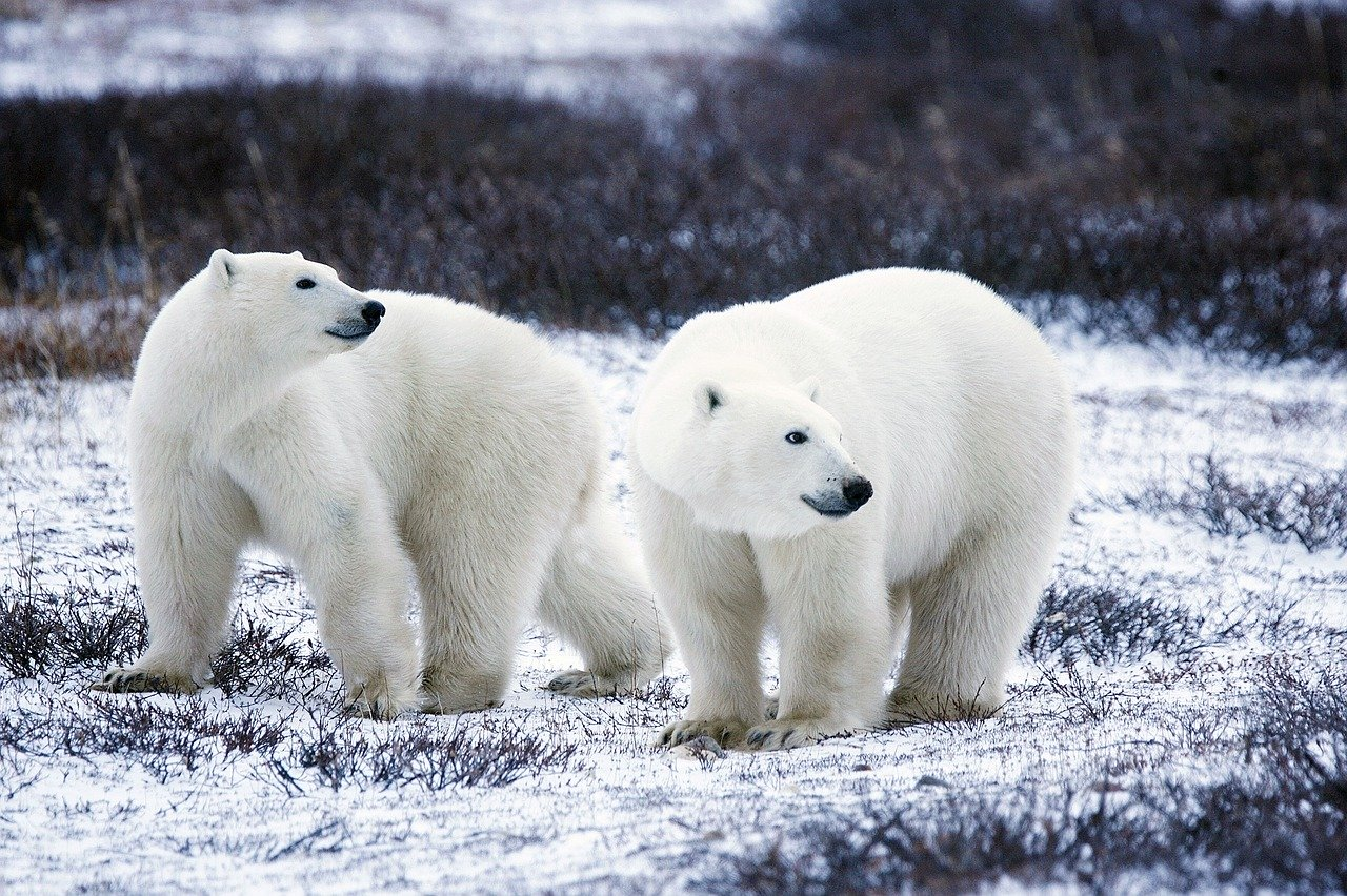 polar-bears-1665367_1280.jpg