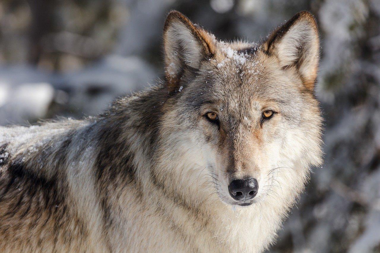wolf-3818343_1280.jpg